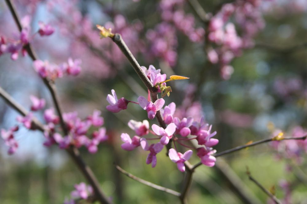 The tiny flowers of Eastern redbud are edible and a nice pop of color in a salad.