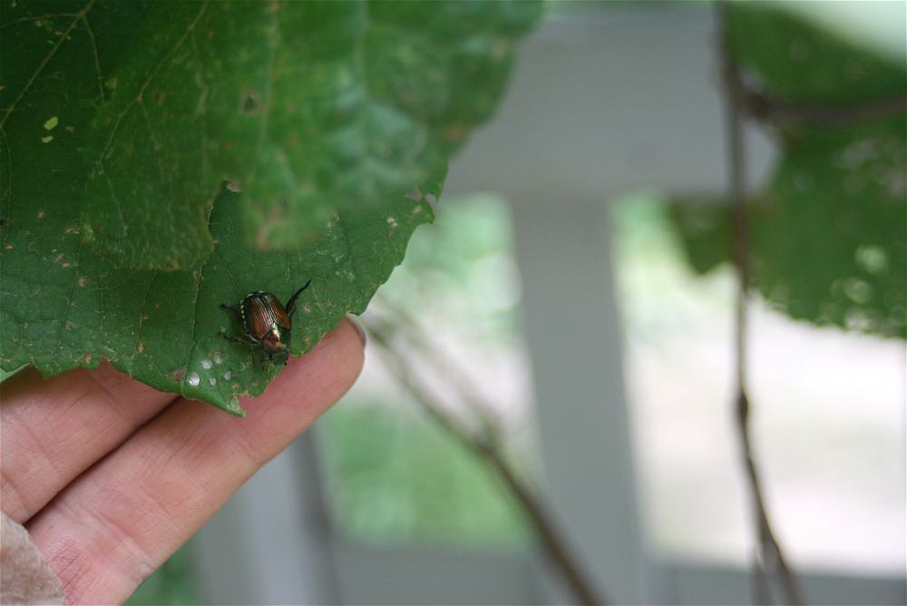 A Japanese beetle on a wild grape leaf at Bluebird Gardens.