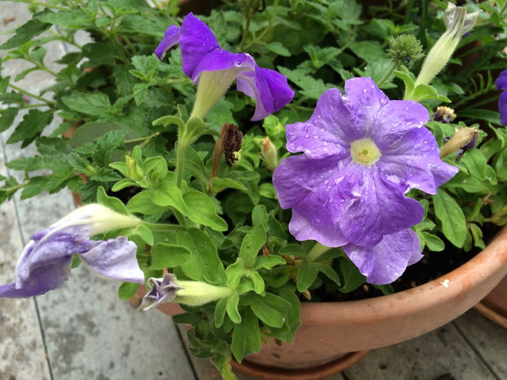 Purple domestic petunia blooming in a Bluebird Gardens deck pot.
