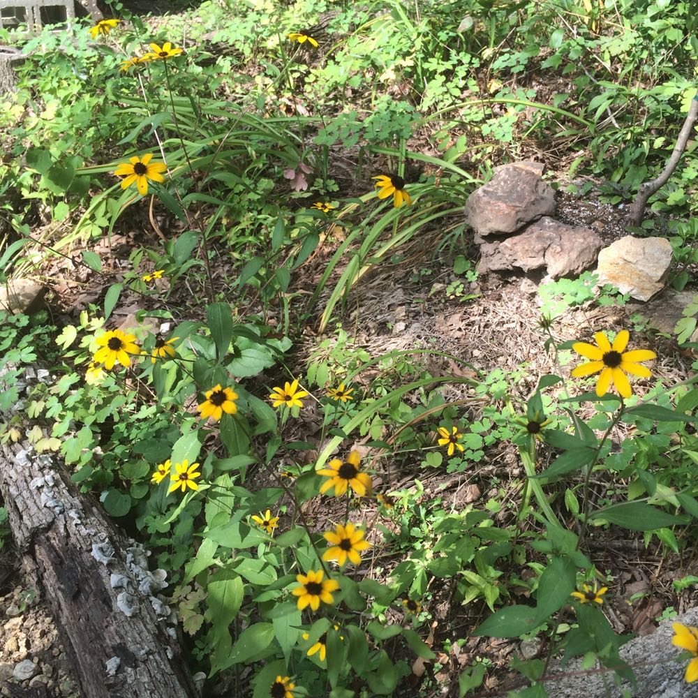 Missouri brown-eyed susans in bloom without being watered during record hot temperatures.