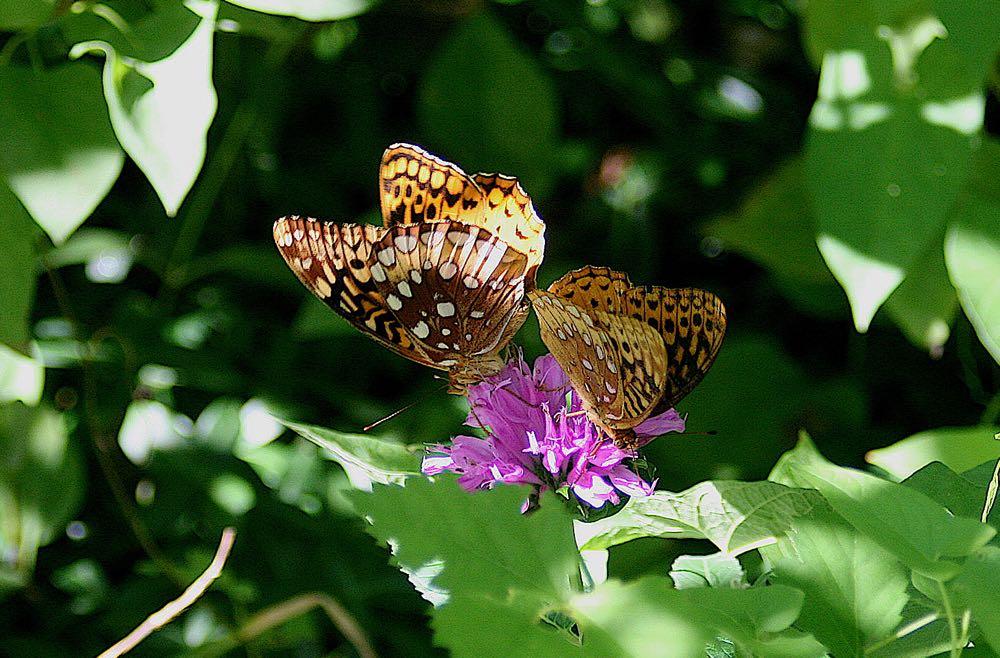 Butterflies on Bluebird Gardens bee balm.