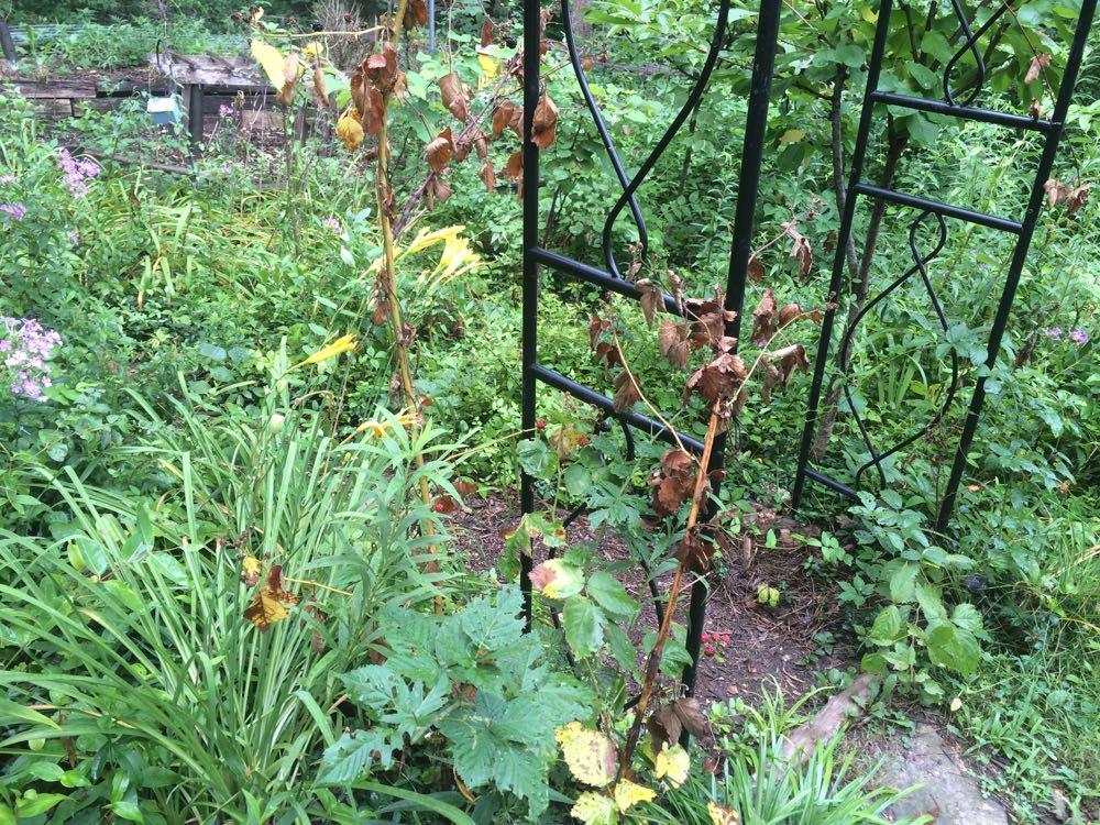 Bluebird Gardens blackberries burning up in record 2016 hot summer temperatures.