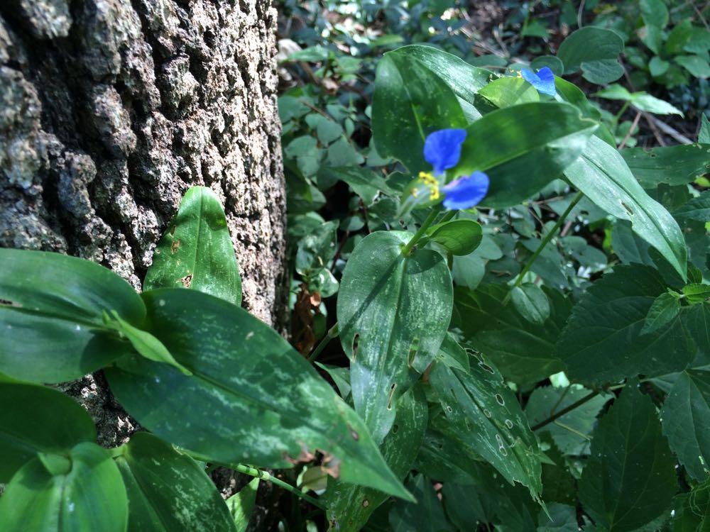 One of Missouri's true blue wildflowers, dayflower.