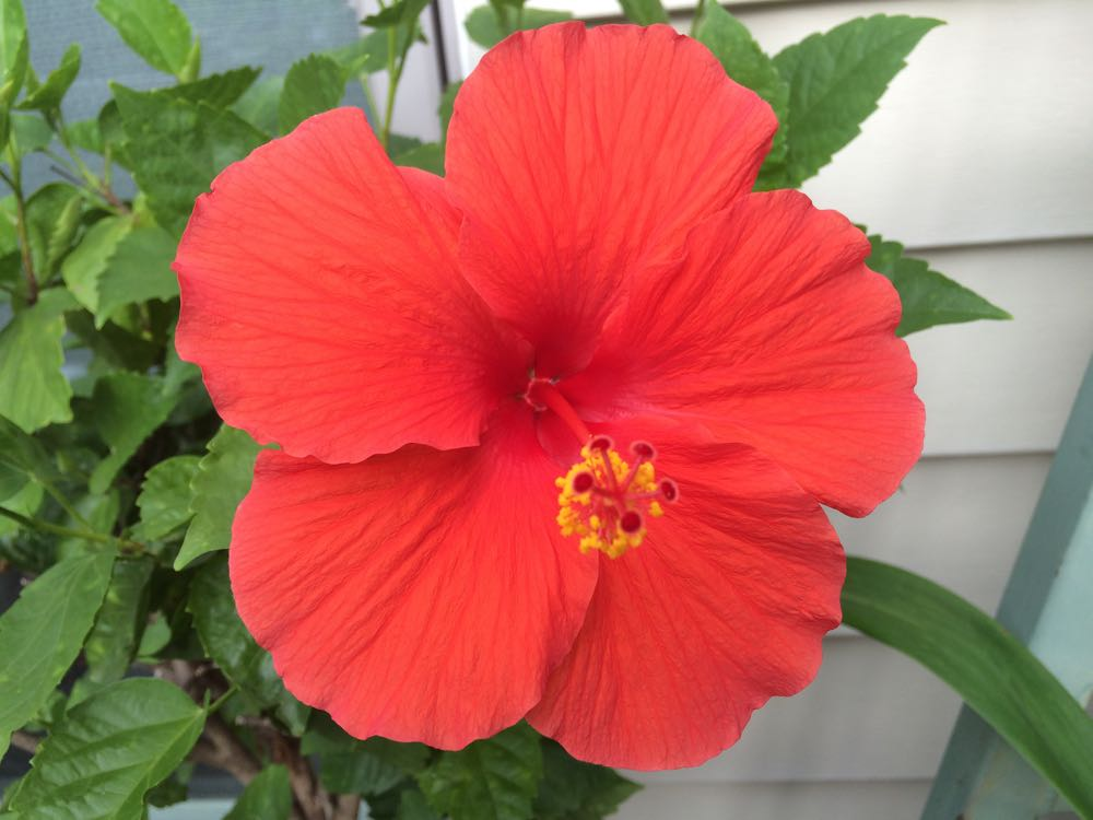 My first tropical hibiscus tree was a red one so this color continues to be a favorite.