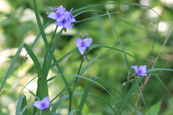 Another lovely Missouri wildflower and cousin to Missouri dayflowers, spiderwort.