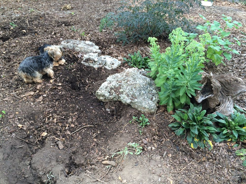One of Tom's Yorkies has dug up a corner of his spring garden to hunt for moles.