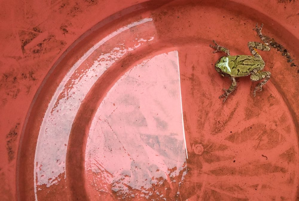 A Missouri spring peeper decided to go for a swim in the bottom of the planter on wheels.