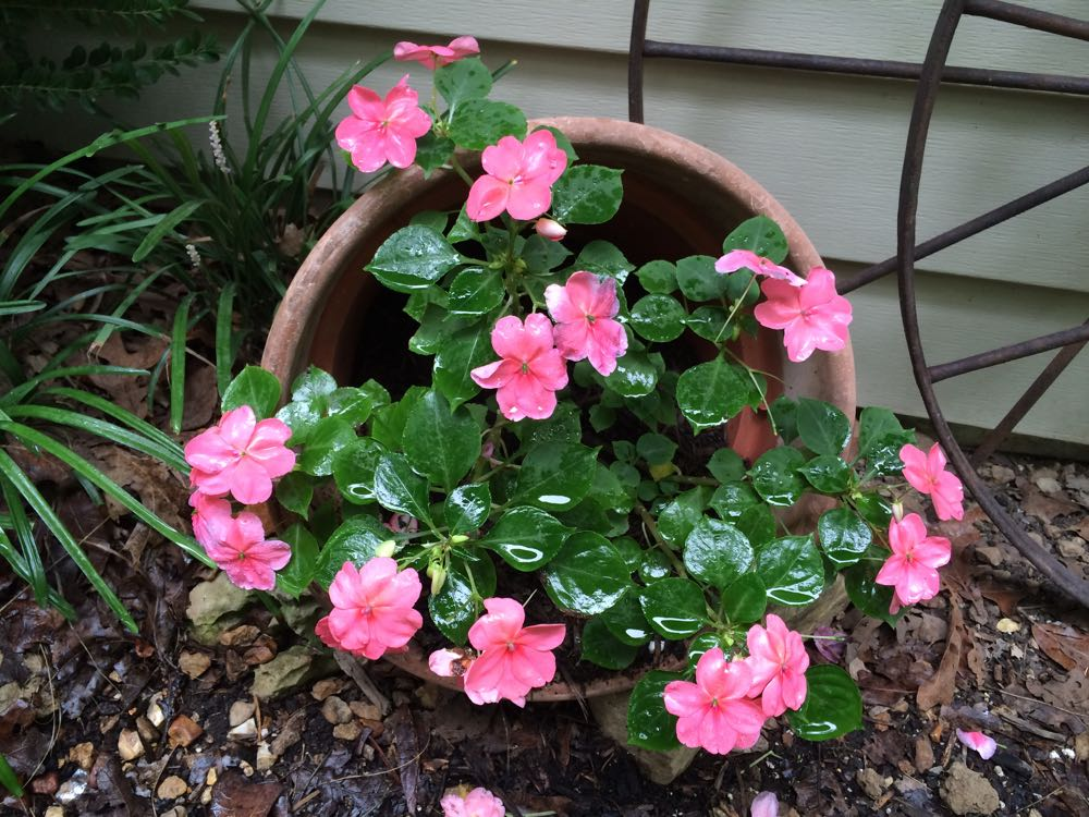A pot of impatiens at the corner of my Bluebird Gardens home getting some rain.