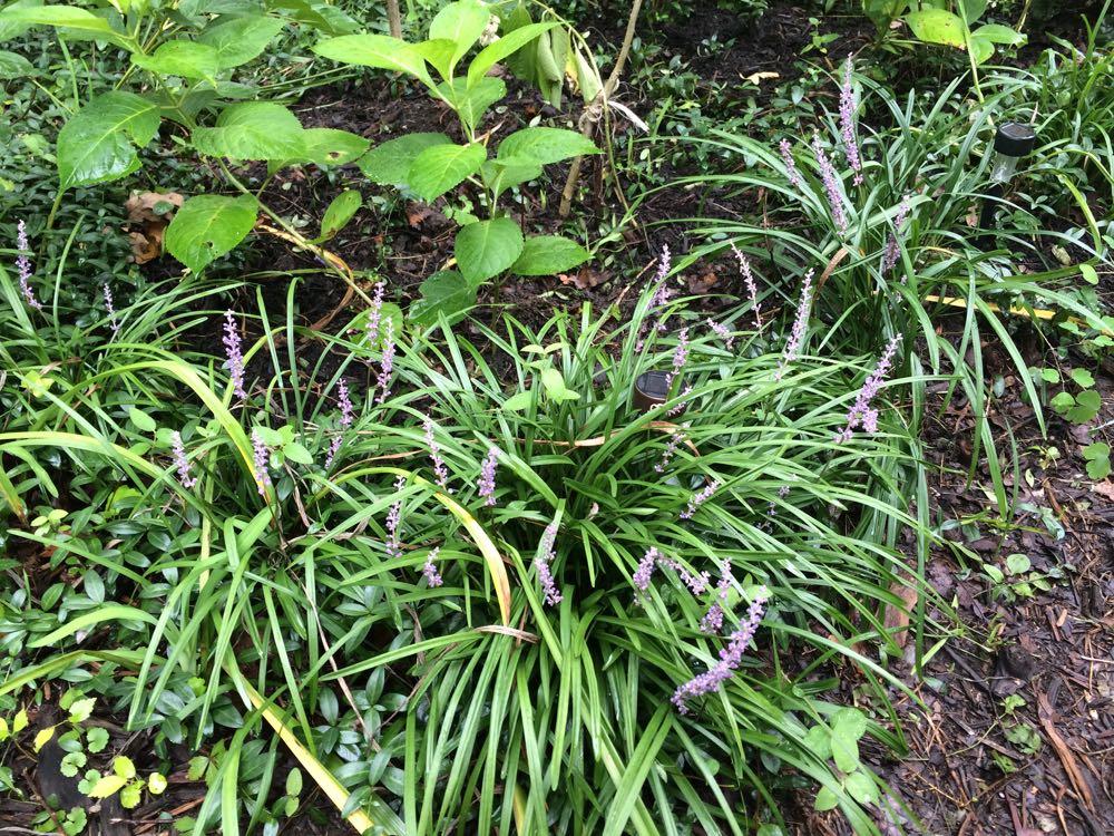Monkey grass as my edging around bluebird gardens.