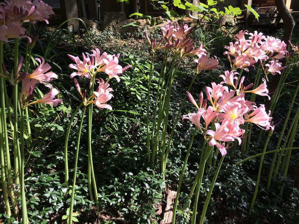 Surprise lilies get their nickname from their habit of blooming on naked stalks.