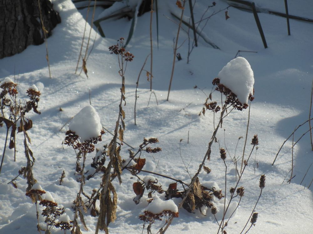 "Snow-covered Autumn Sedum ""Joy"" in winter suggests snow flowers, or so I call them."