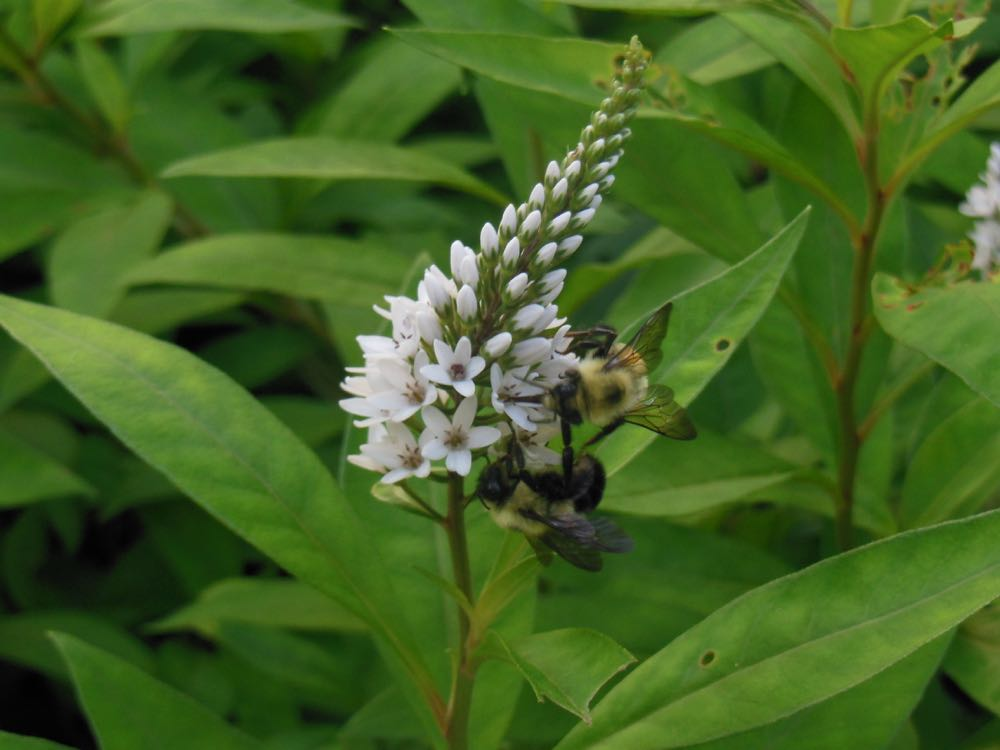 Bumblebees on gooseneck loosestrife at Bluebird Gardens.