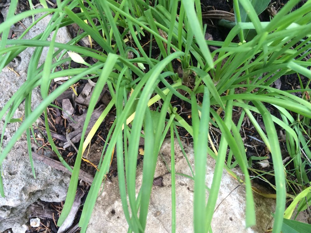 The green leaves of garlic chives can be cut and added to salads and dishes.