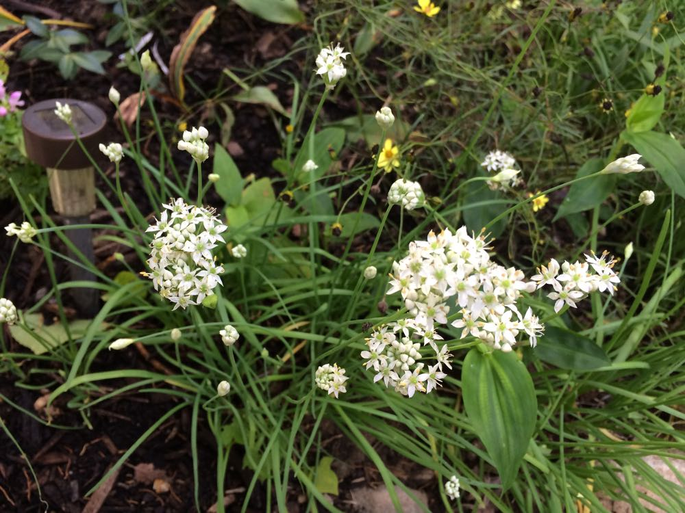 Garlic chives make wonderful border plants.