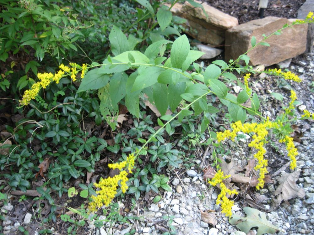 A showy yellow goldenrod in bloom in my garden is not responsible for my sneezing.
