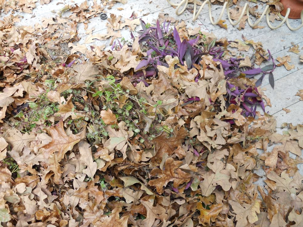 Plant trimmings get mixed in with oak leaves and composted for next season.