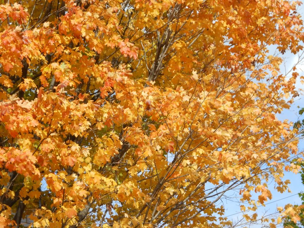 Sugar maples turn from a pretty yellow to peachy hues in the fall in Missouri.