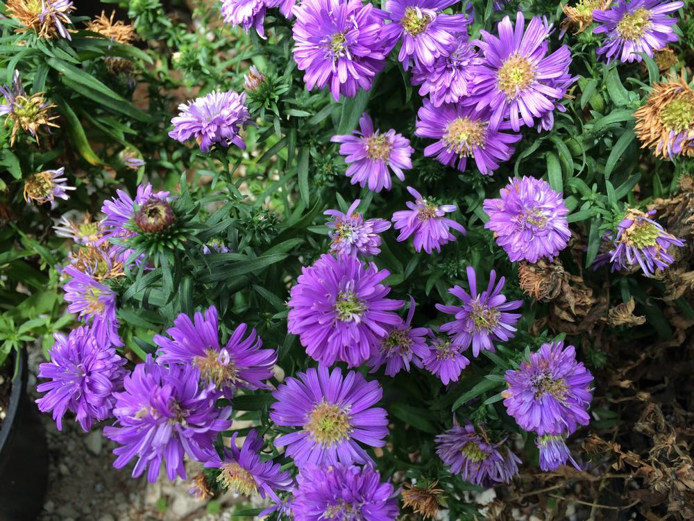 New England asters are a favorite fall blooms in my Missouri garden.