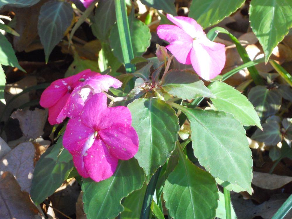 Pink impatiens flowers.
