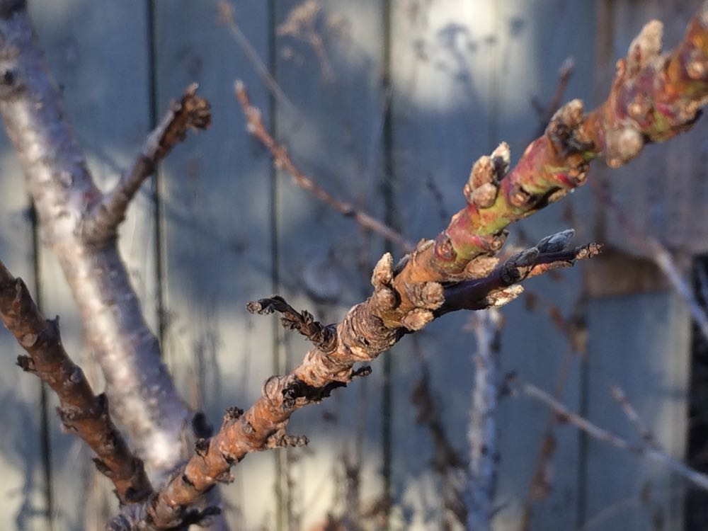 Apricot buds late December 2016.