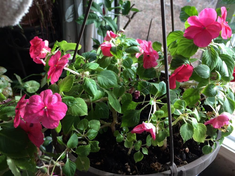 Pink impatiens have been blooming continuously inside ever since in a hanging basket.
