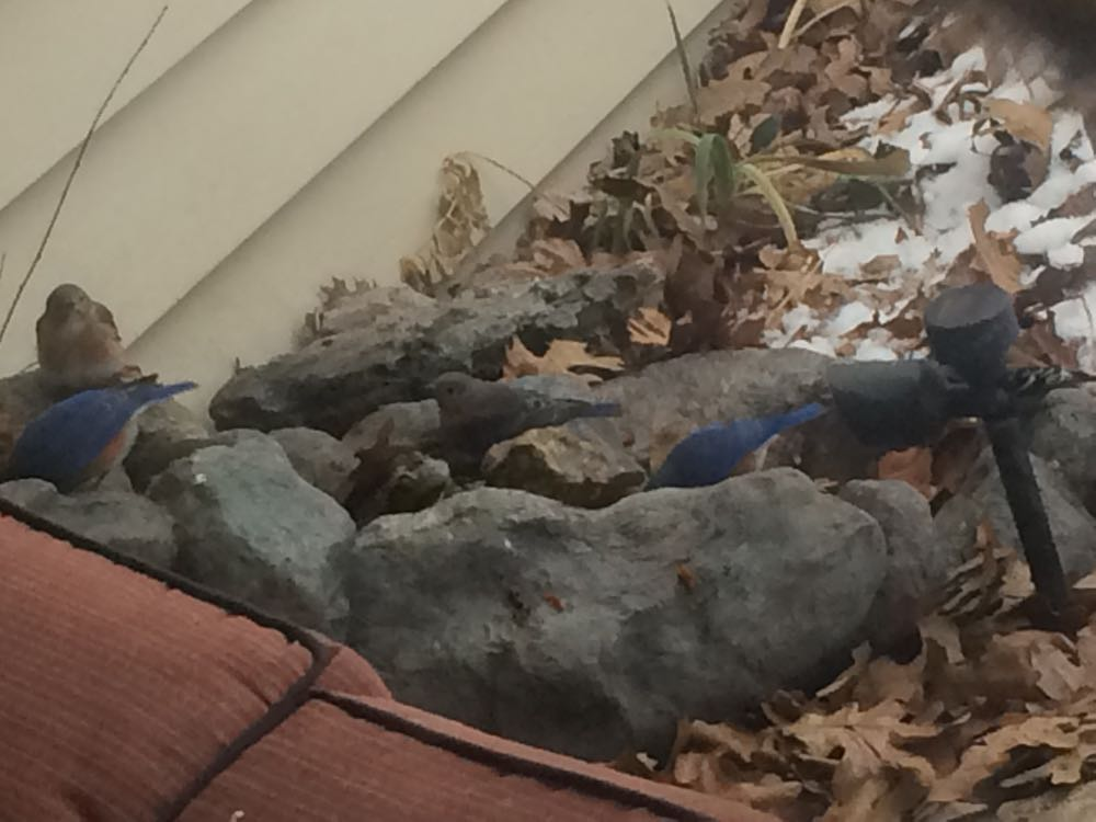 More bluebirds show up at my front porch waterfall at Bluebird Gardens.