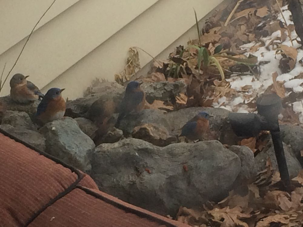 Up to nine bluebirds showed up at my waterfall at once to get a drink.