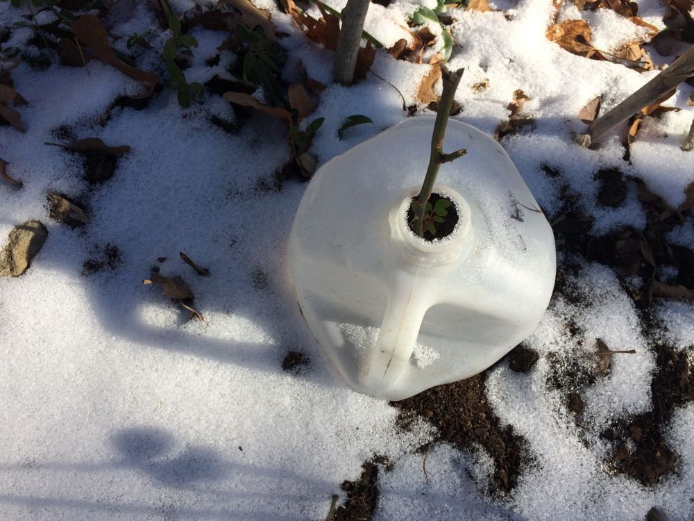 This milk jug is protecting a little rose start at the corner of one of my flower beds.