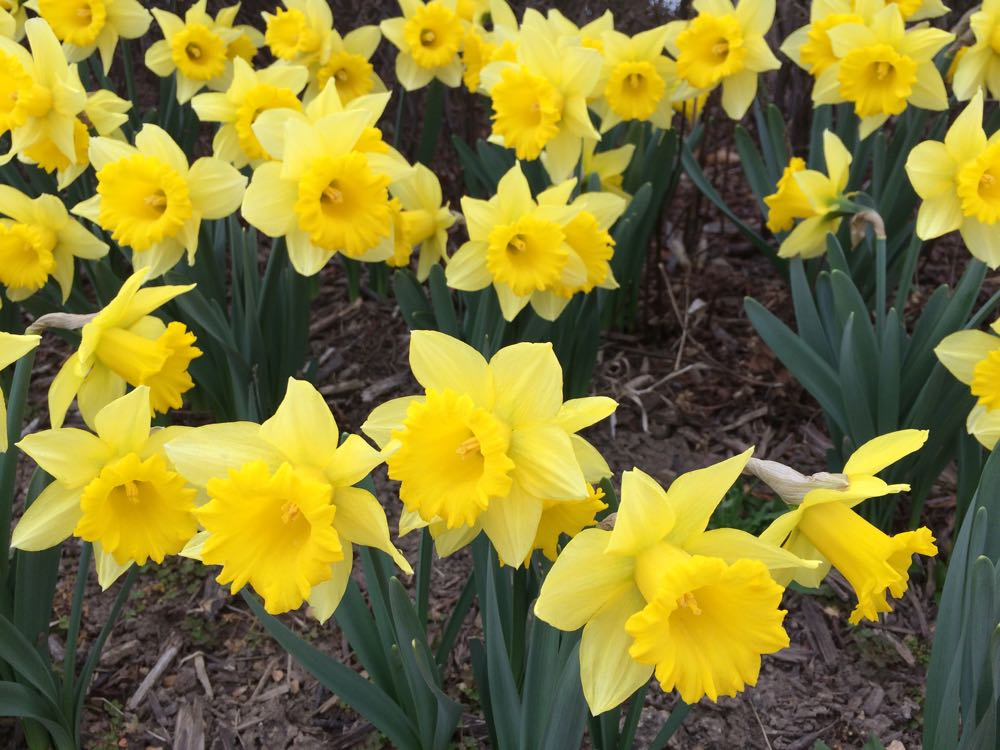 These daffodils are blooming a good month earlier than they should be.