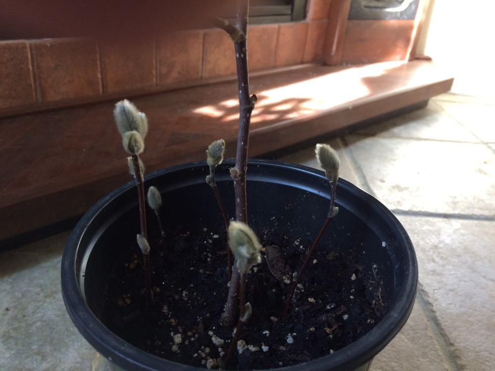 Trimmed at an angle, the pussy willow branches are now in a pot hopefully rooting.