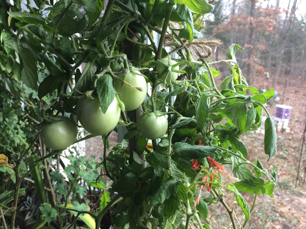My winter tomato plant is nicely setting fruit in one of my living room windows. One of the challenges of growing tomatoes inside is the lack of insect pollinators but Howard appears to have had some visitors before I brought him inside. (Photo by Charlotte Ekker Wiggins)