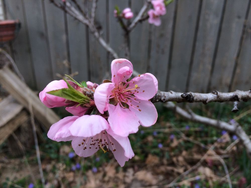 My compact dwarf apricot tree in bloom almost a month earlier than usual.