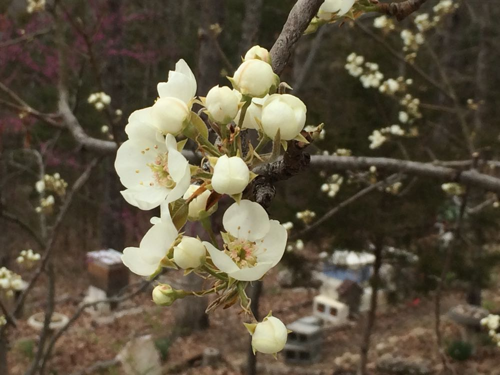 The first blooms on my semi-dwarf Bartlett pear tree enticing my honeybees.