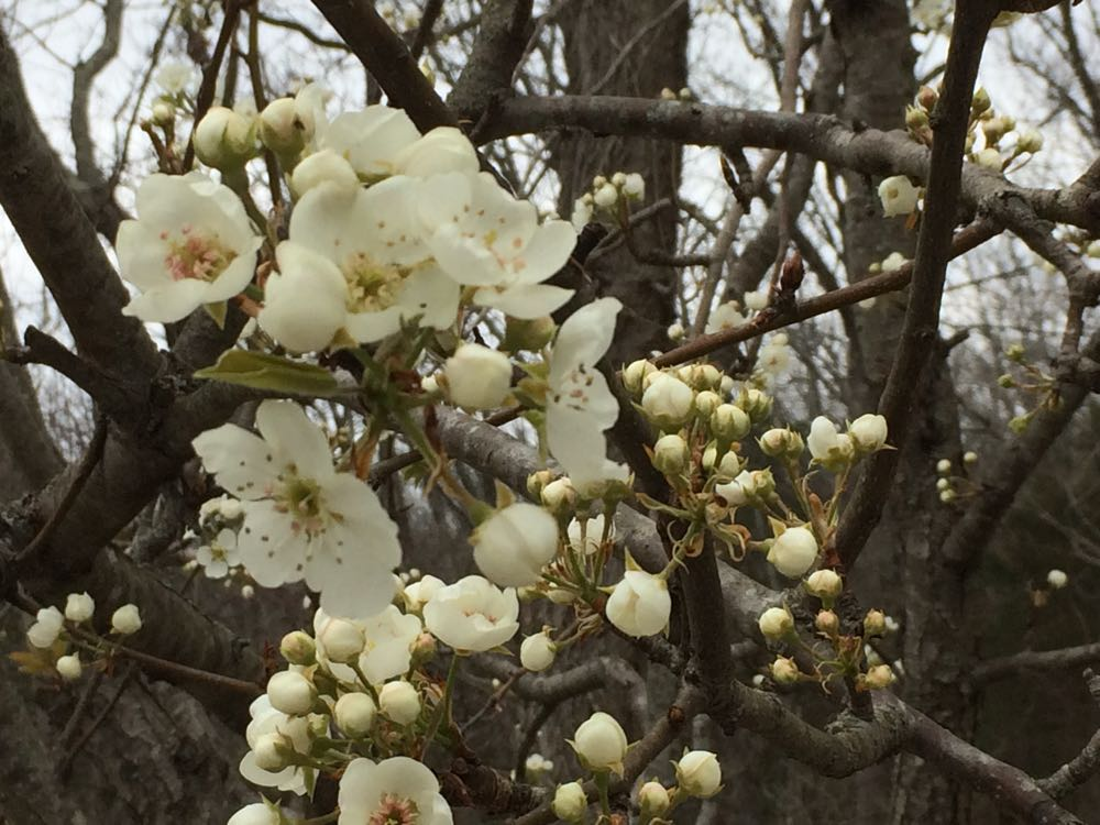 This is a semi-dwarf Bartlett pear tree full of flowers this year, even though its too early.