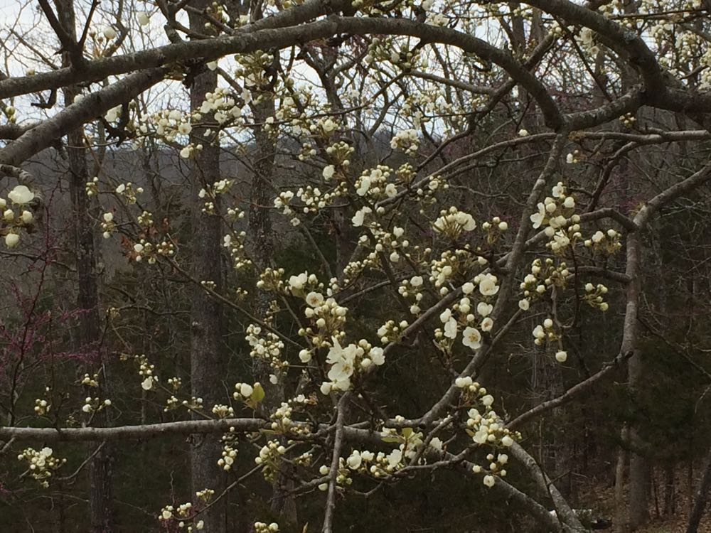 My beautifully-blooming Bartlett pear tree next to my driveway.