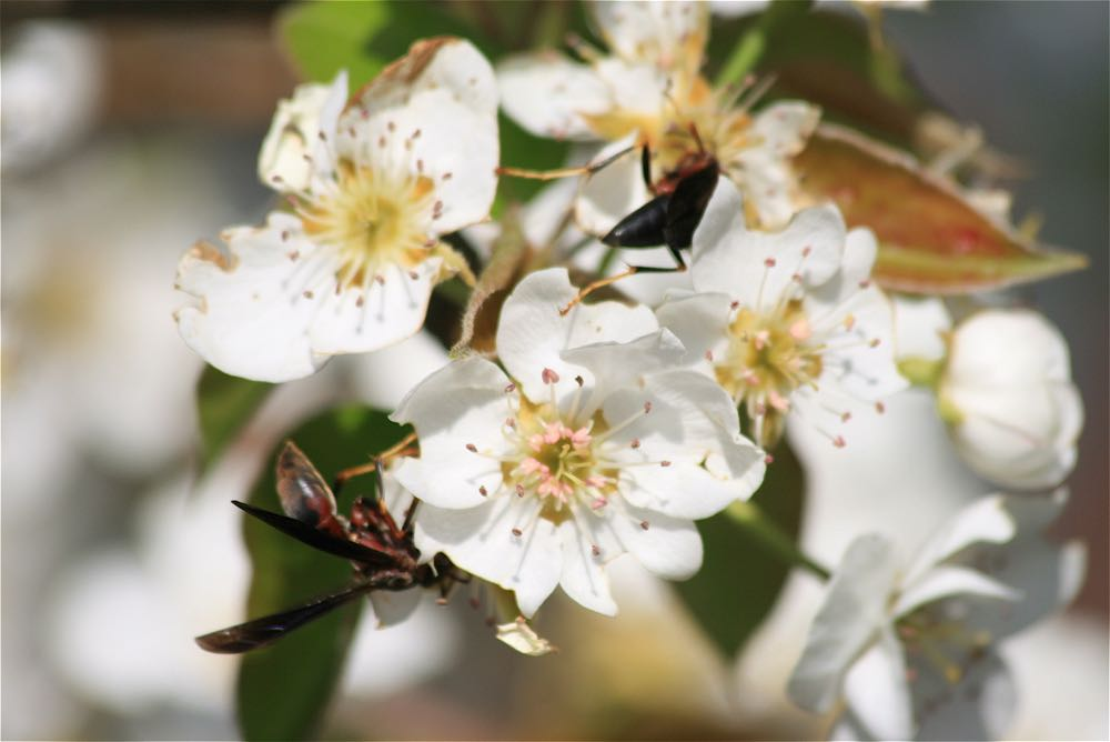 One of the pictures I took the first year my Bartlett pear tree bloomed thanks to visiting wasps.