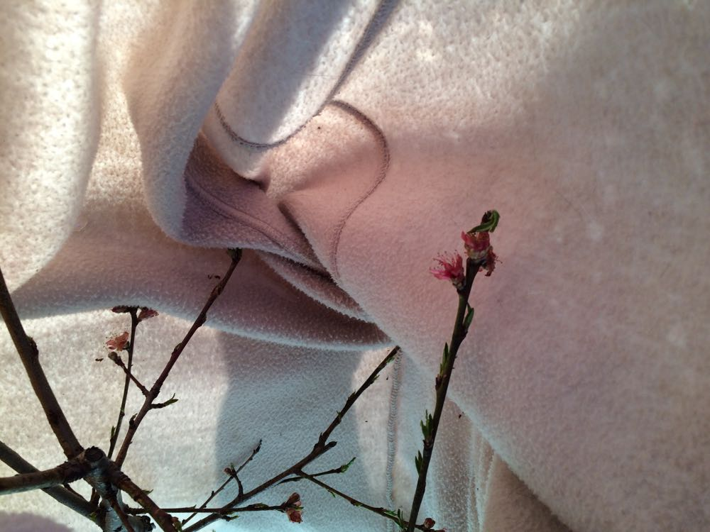 Peach blossoms were protected under my old fleece coat.