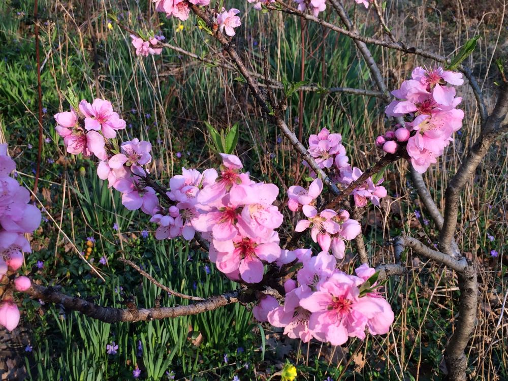 Pink compact dwarf apricot trees are the first to bloom in early spring at Bluebird Gardens.