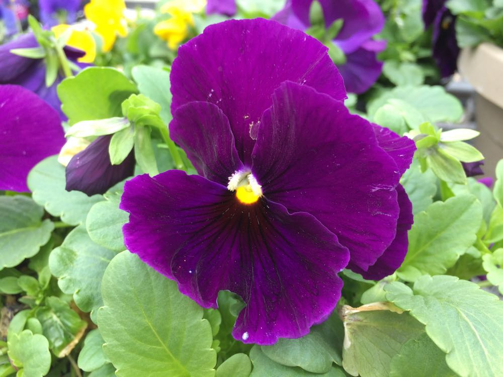 Large purple pansy in bloom.