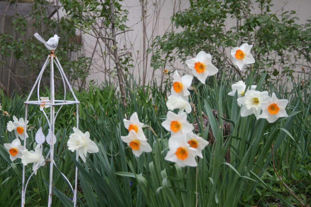 Daffodils in bloom around the corner from the front of my house at Bluebird Gardens.