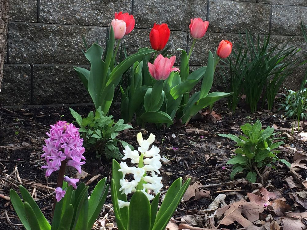 My first tulips in a couple of decades are blooming, and I can't get enough of seeing them!