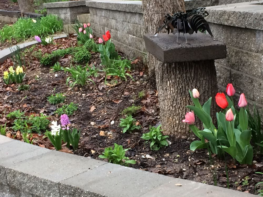 One view of the tulips blooming in the flower bed that is part of my driveway retaining wall.