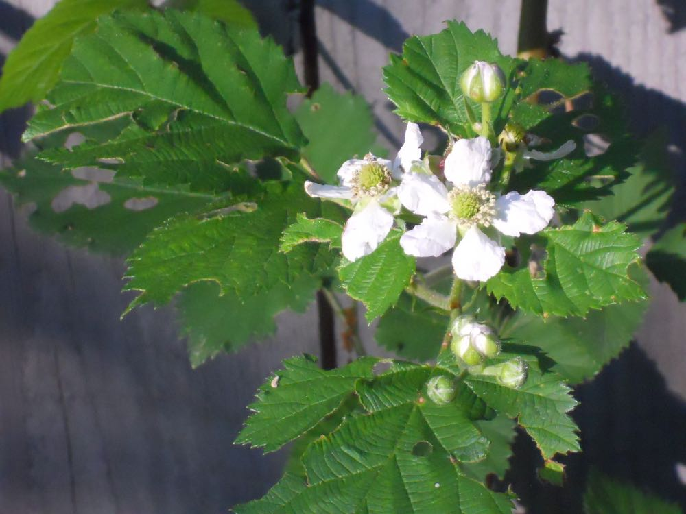Blackberries in bloom at Bluebird Gardens, these are growing over one of my compost areas.