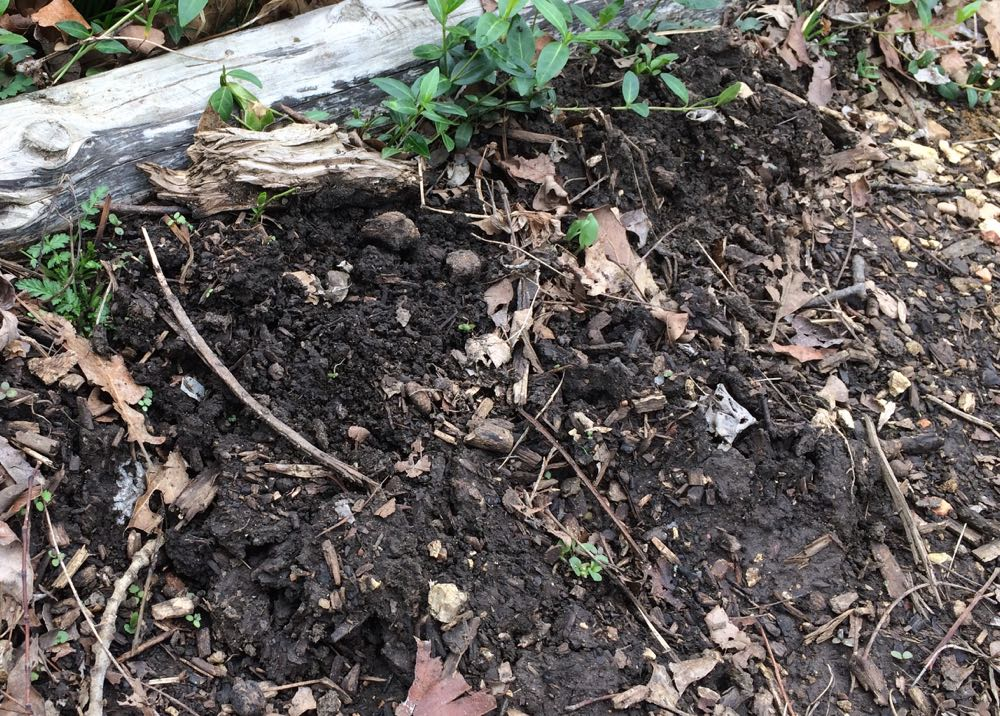 The telltale signs of moles include raised soil as they tunnel a good 10 inches underground along flower beds and maybe even through your lawn.