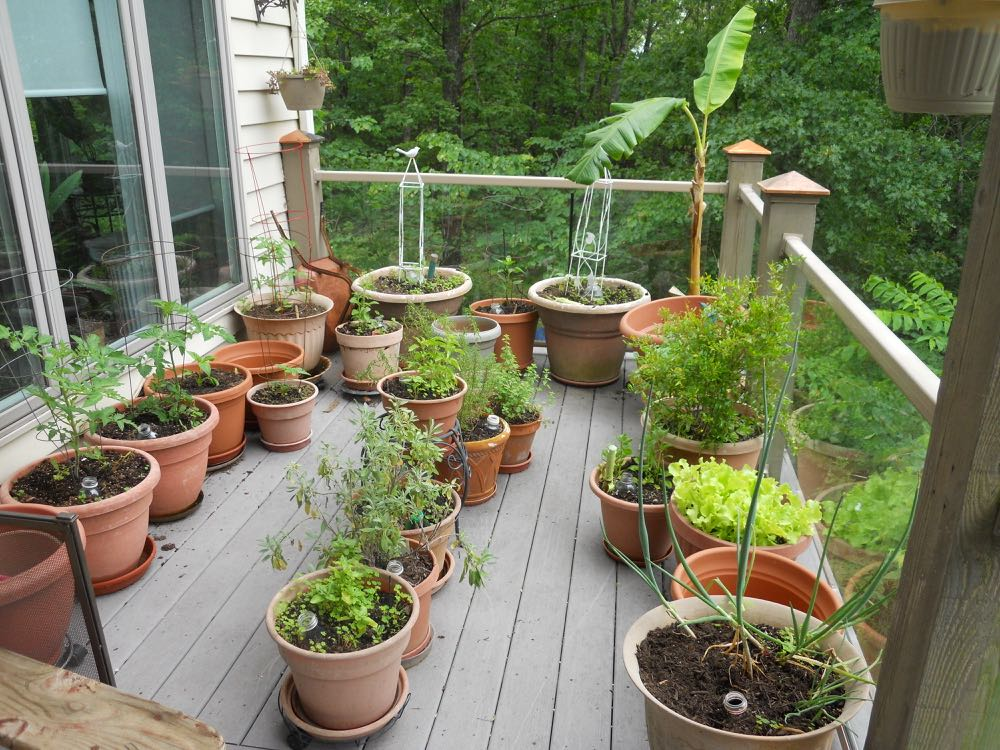 My herbs, tomatoes, peppers and yes, a banana plant on my back deck garden.