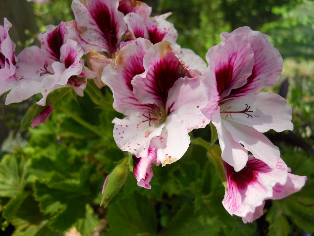 My newest addition to my geraniums, aren't these pretty?