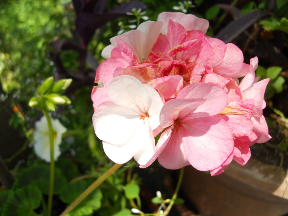 The old-fashioned, traditional, die hard basic geranium our grandmothers had.