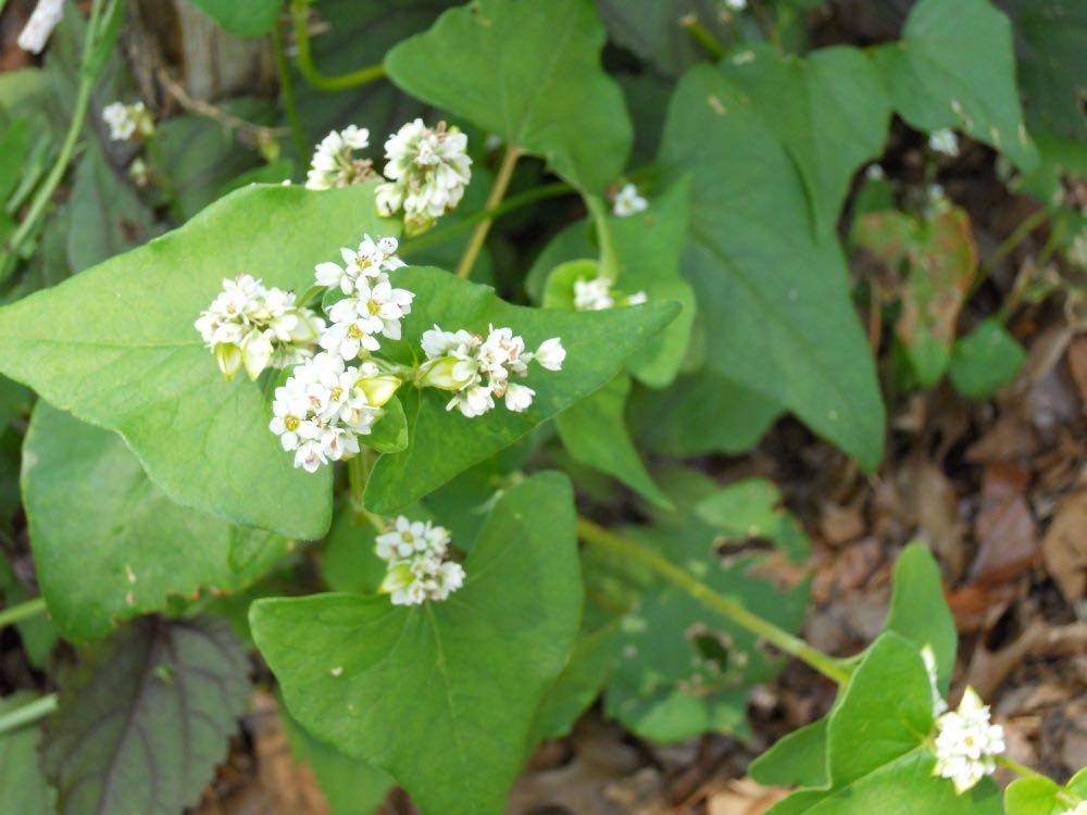 Plant new flower beds with a cover crop to keep the soil well conditioned. Buckwheat grows fast, has a lovely white flower and can easily be mulched. It is also a good fall pollen source for bees.