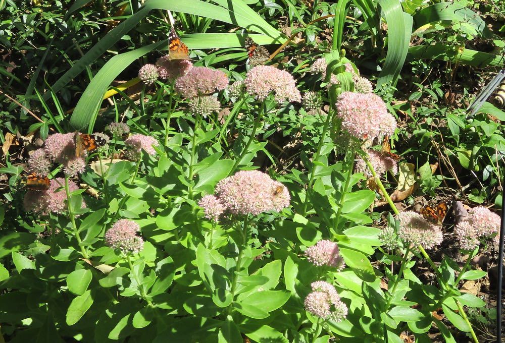 How many Painted ladies butterflies do you see on this Autumn Joy Sedum? There are a couple of honeybees, too!
