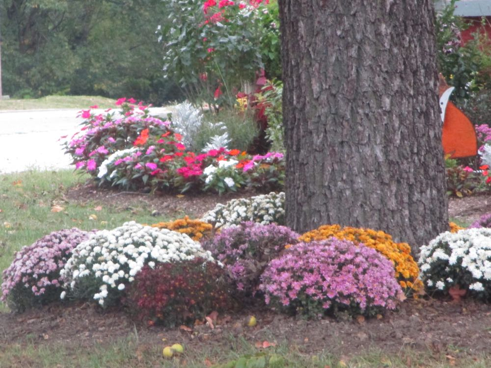 A variety of chrysanthemum colors stand out against the grey of the tree trunk.